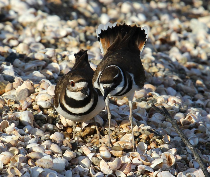Killdeer at Meigs Point 3-12-16