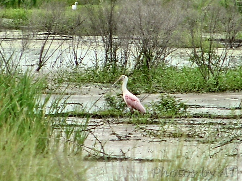 Rosette Spoonbill <br /> Sabine National Wildlife Refuge <br /> Louisiana <br /> 7/27/2001 <br /> Sony CD1000