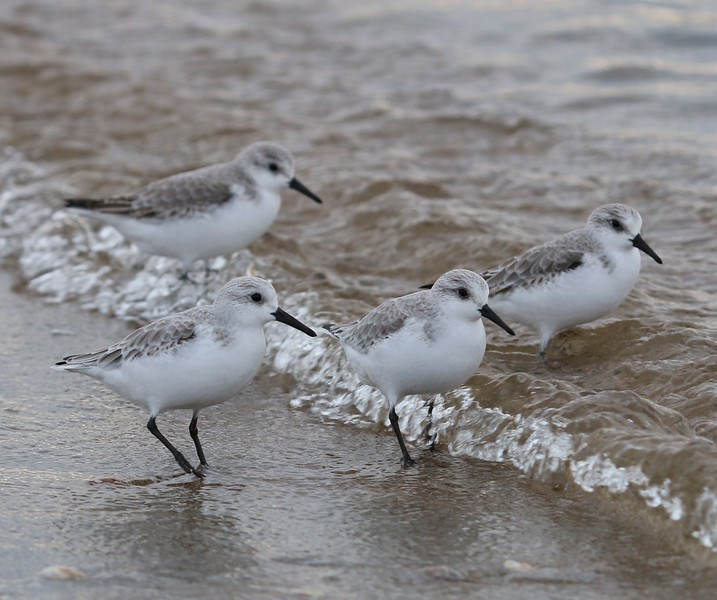 Sanderlings at Meigs Pt. Madison, CT