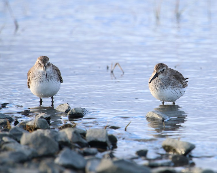 Dunlin at East River Boat Launch - Madison