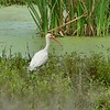 White Ibis  <br /> Sabine National Wildlife Refuge <br /> Louisiana <br /> 7/27/2001 <br /> Sony CD1000