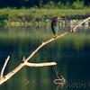 Green Heron<br /> Busch Wildlife Area