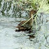 Common Gallinule  <br /> (previous Common Moorhen) <br /> Sabine National Wildlife Refuge <br /> Louisana  <br /> 7/27/2001 <br /> Sony CD1000