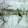 Yellow-crowned Night-Heron  <br /> Sabine National Wildlife Refuge <br /> Louisiana <br /> 7/27/2001 <br /> Sony CD1000