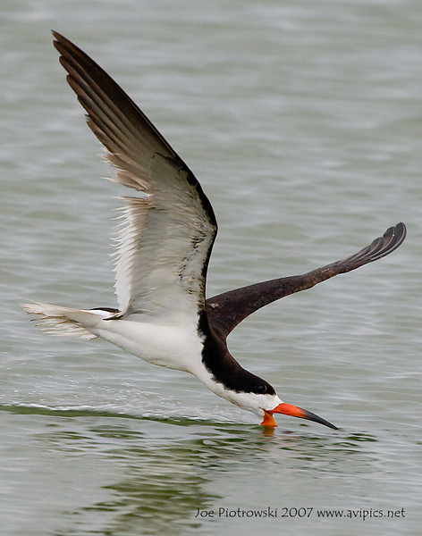Black Skimmer taken at Cape Hatteras National Seashore,NC.