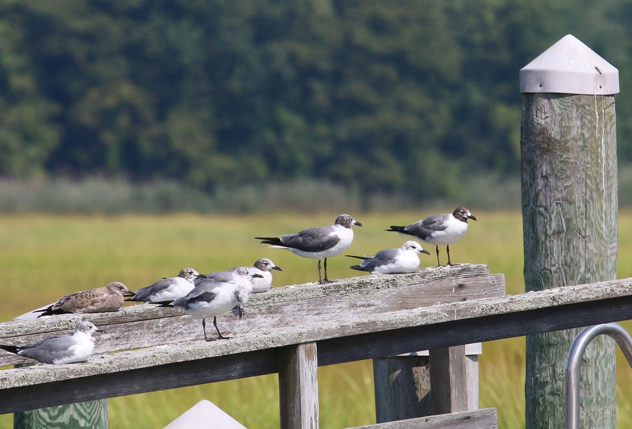 Laughing Gulls at Neck River - Madison, CT