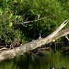 Green Heron - immature<br /> Busch Wildlife Area