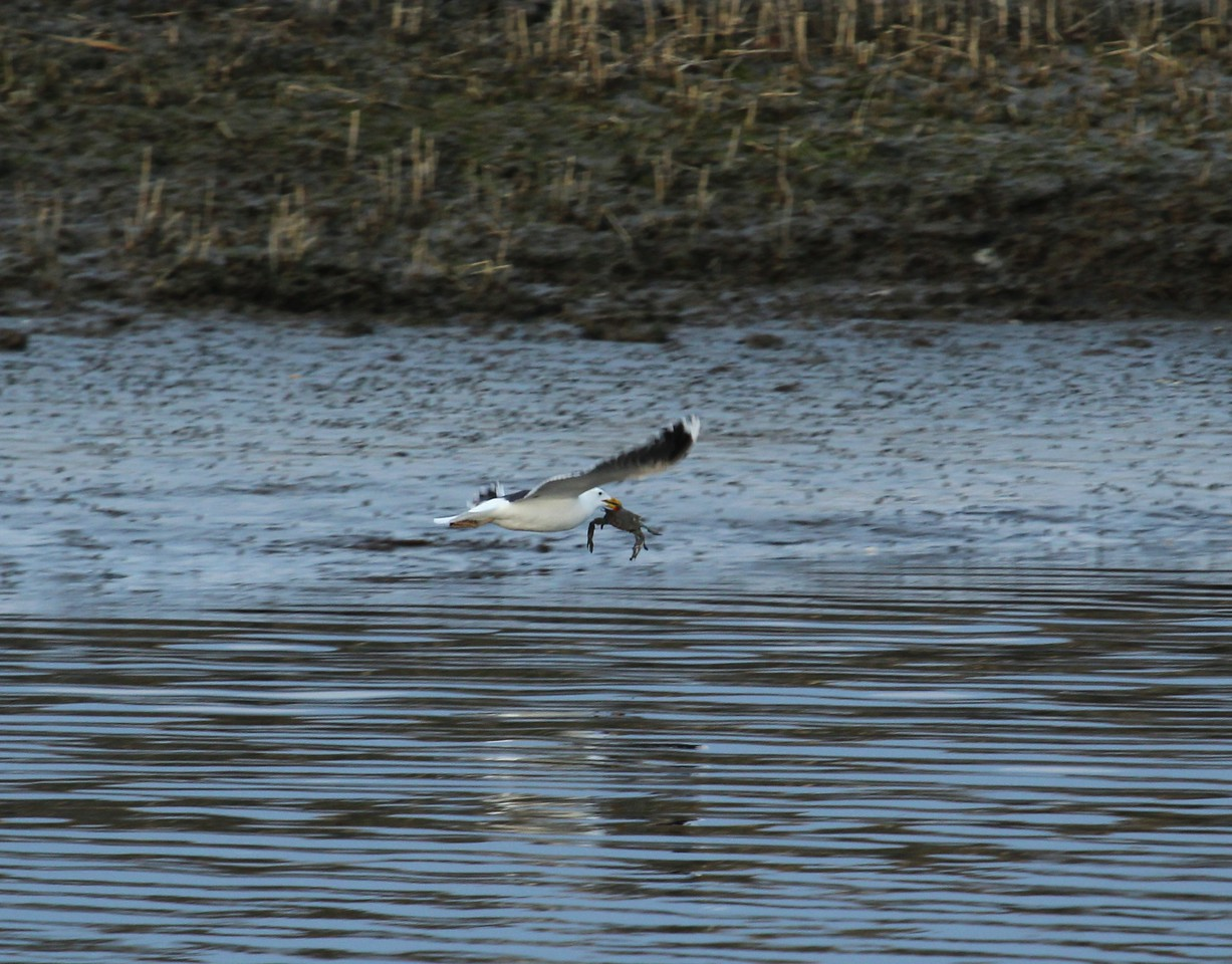 Black-Backed Gull takes a crab to dinner.