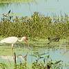 White Ibis and Common Gallinule <br /> Sabine National Wildlife Refuge <br /> Louisiana <br /> 7/27/2001 <br /> Sony CD1000