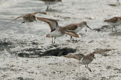 Sanderling Flock in Flight