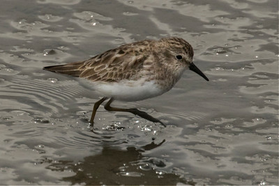 Sanderling Searching the Mudflats at Low Tide