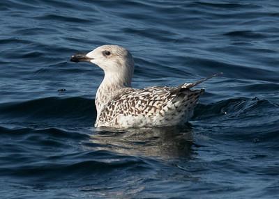 Immature Lesser Black Backed Gull