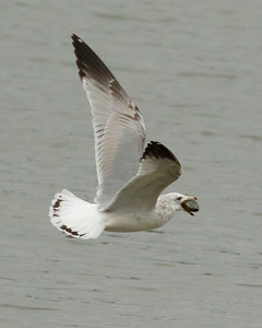 Ring Bill Gull