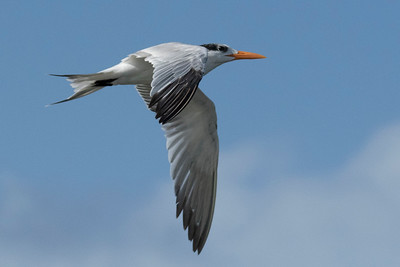 Royal Tern, Sterna maxima