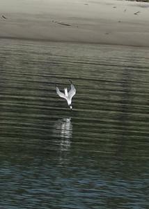 Forster Tern Forster Tern Diving