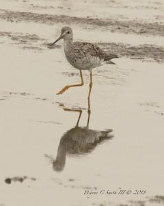Greater Yellowlegs Feeding Low Tide