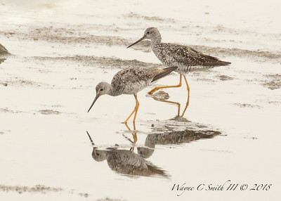 Greater Yellowlegs Feeding Low Tide