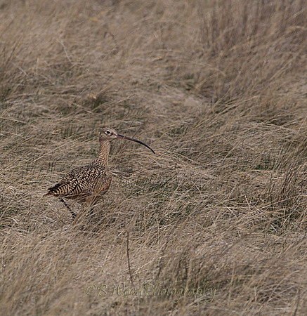 """NA 09AP2676  Long-billed Curlew (Numenius americanus).  This species was also called """"sicklebird"""" and the """"candlestick bird"""". It is native to central and western North America. In the winter, they  migrates southwards, as well as towards the coastline."""