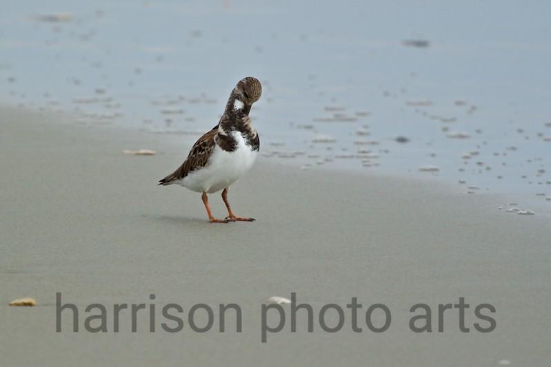 Ruddy Turnstone<br /> Litchfield Beach, SC