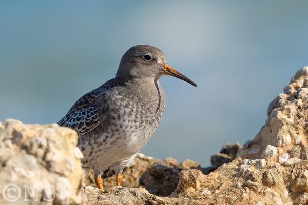 Shorebird Image Gallery