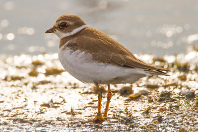 Semipalmated Plover - Horicon Marsh, WI
