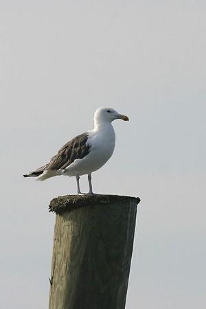 Shorebirds, Gulls & Terns