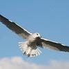 Ring-billed Gull @ Lakeside OH - Sept 2009