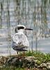 Common Tern @ Florida Everglades - April 2007