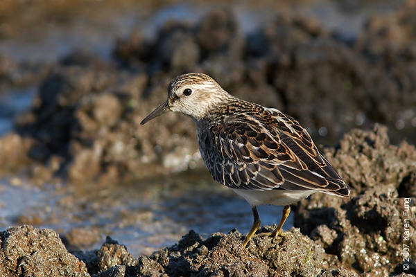 A Least Sandpiper pauses on the mudflats along the East Pond of Jamaica Bay WR