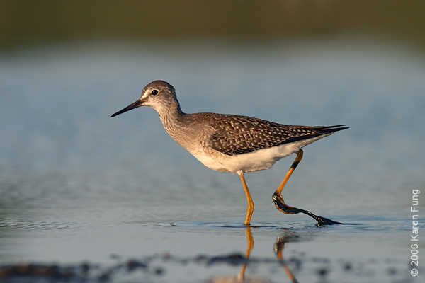 Lesser Yellowlegs at Jamaica Bay Wildlife Refuge