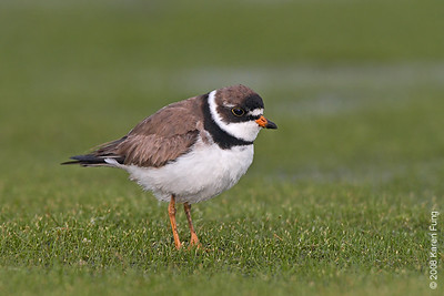 Aug 13th: Semipalmated Plover at Jamaica Bay WR