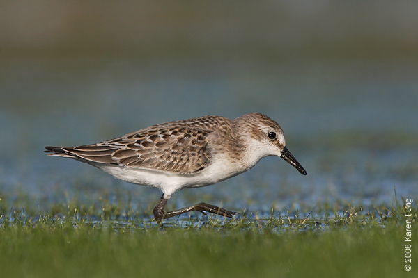 August 31st: Semipalmated Sandpiper at Jamaica Bay Wildlife Refuge