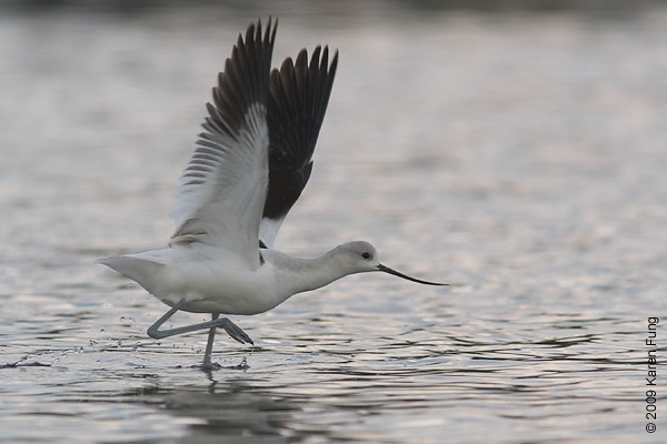 Sept 5th: An American Avocet flapping its wings on the East Pond of Jamaica Bay Wildlife Refuge