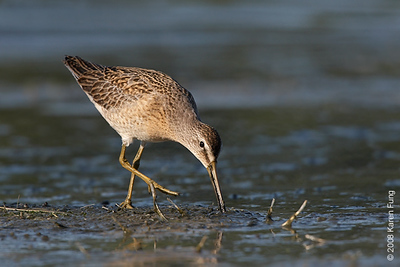 August 31st: Short-billed Dowitcher at Jamaica Bay Wildlife Refuge