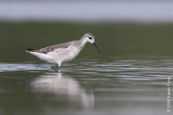 Wilson's Phalarope at Jamaica Bay Wildlife Refuge