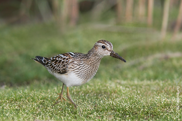 Pectoral Sandpiper at Jamaica Bay WR