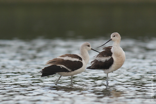 5 Sept 2009: A pair of American Avocets on the East Pond of Jamaica Bay Wildlife Refuge