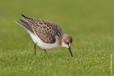 Aug 13th: Semipalmated Sandpiper at Jamaica Bay WR