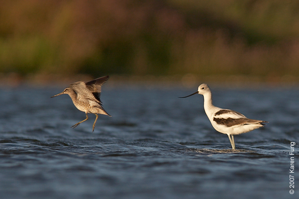 A Short-billed Dowitcher flees the scene while an American Avocet looks on.