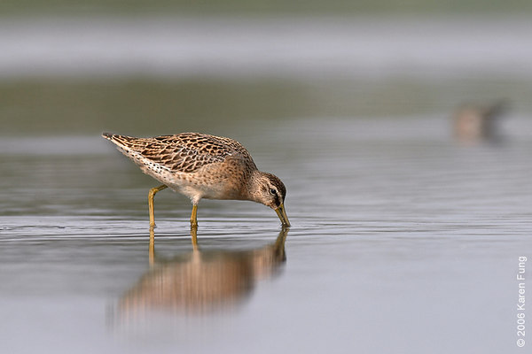 Short-billed Dowitcher at Jamaica Bay Wildlife Refuge