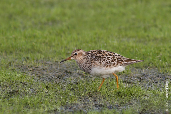 Pectoral Sandpiper at Jamaica Bay WR.