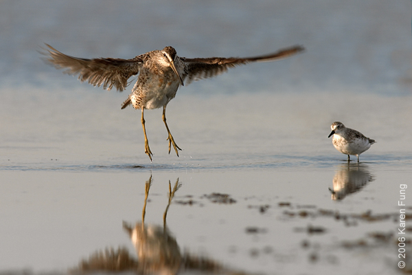 A Short-billed Dowitcher practices its jumps under the watchful eye of a Semipalmated Sandpiper.