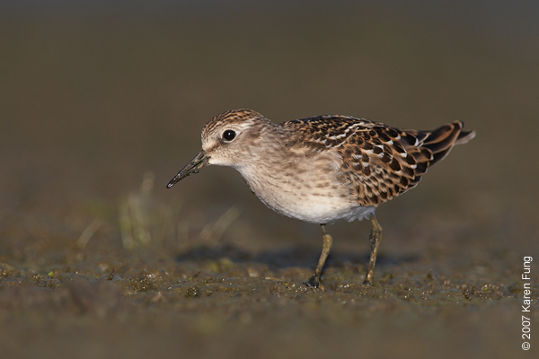 Least Sandpiper at Jamaica Bay Wildlife Refuge