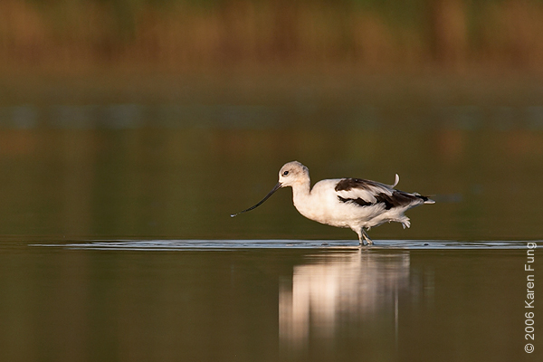 American Avocet at Jamaica Bay Wildlife Refuge