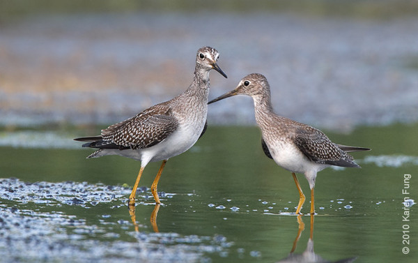 17 August: A pair of Lesser Yellowlegs at Jamaica Bay WR