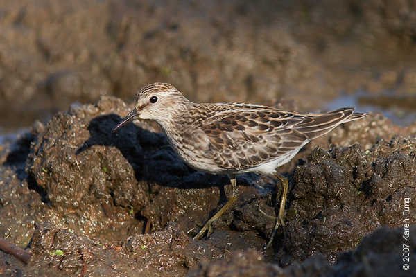 Least Sandpiper at Jamaica Bay WR