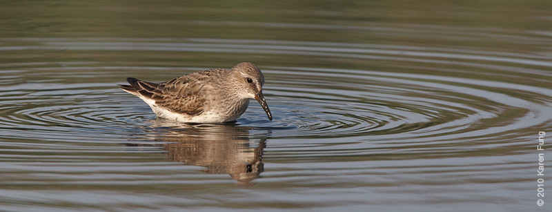 17 August: White-rumped Sandpiper feeding at Jamaica Bay WR