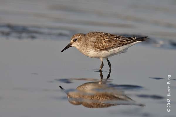 17 August: White-rumped Sandpiper at Jamaica Bay WR