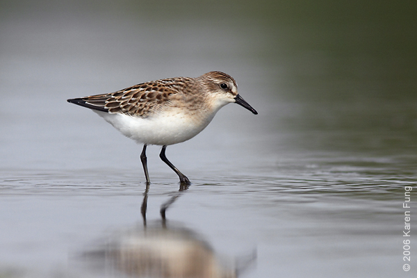 Semipalmated Sandpiper at Jamaica Bay Wildlife Refuge