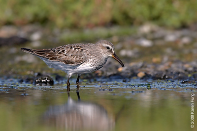 August 31st: White-rumped Sandpiper at Jamaica Bay Wildlife Refuge